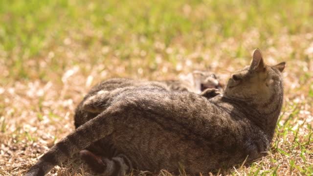 vídeos de stock, filmes e b-roll de funny cat in the garden lying and looking to the camera - bigode de animal