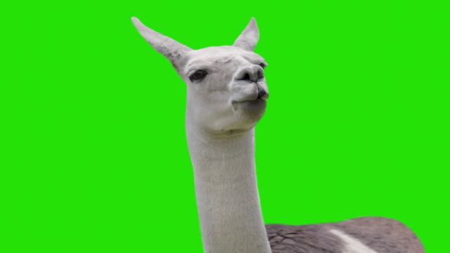 Funny chewing Llama isolated on chromakey