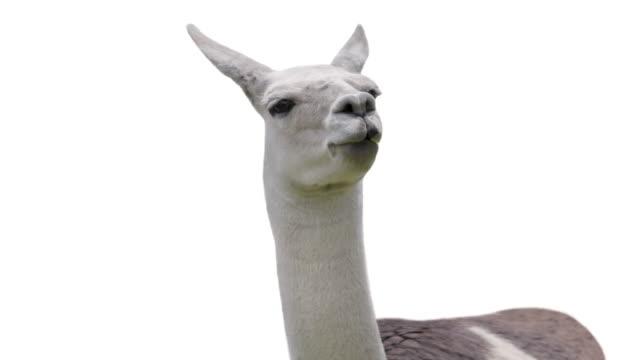 vídeos de stock e filmes b-roll de funny chewing llama isolated on white - mastigar