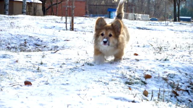 funny corgi fluffy puppy walking outdoors at the winter day