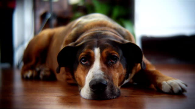 stockvideo's en b-roll-footage met funny cross-eyed dog - verdriet