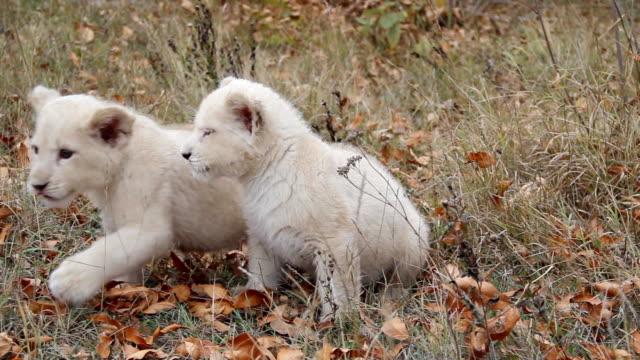 funny cubs