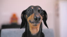 Funny Dachshund Mugs And Grimaces
