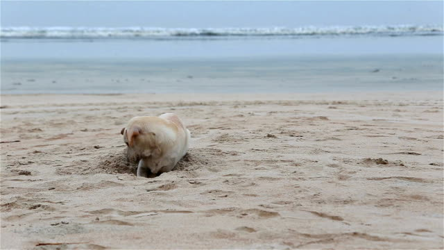 Lustige Hund Graben ein Loch am Strand.