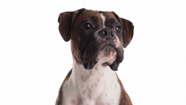 funny dog - studio shot stock videos & royalty-free footage