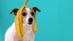Funny dog with banana peel on his head portrait