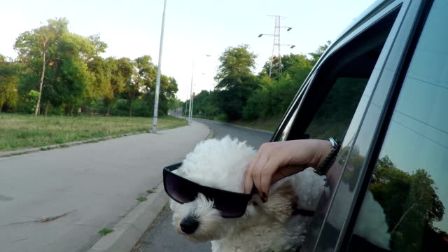 vídeos de stock e filmes b-roll de funny dog with sunglasses looking out of car window - satisfação