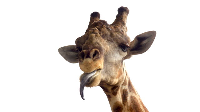 funny giraffe - tongue stock videos and b-roll footage