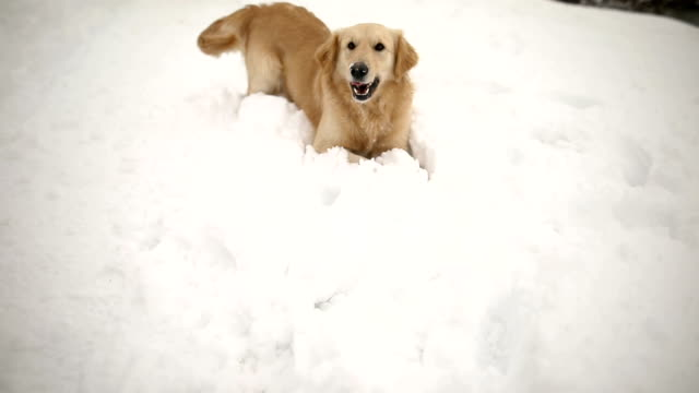funny golden retriever eats the snow - two animals stock videos & royalty-free footage