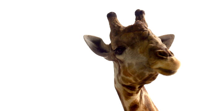 funny head of giraffe against white background - giraffe stock videos and b-roll footage