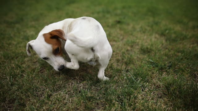 funny jack russel terrier chasing tail and biting leg in public park. purebred dog chewing his paw in meadow - jack russel video stock e b–roll