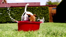 Funny Jack Russell terrier digs the water out of a bowl on a hot sunny day