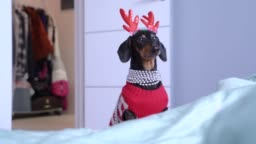 Funny little dachshund wearing winter knitted pullover and red Christmas deer horns comes from wardrobe to family bed and barks, calling the owners. Concept of preparations for holiday.