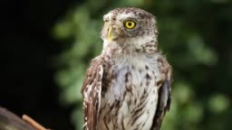 Funny little owl  in natural forest habitat