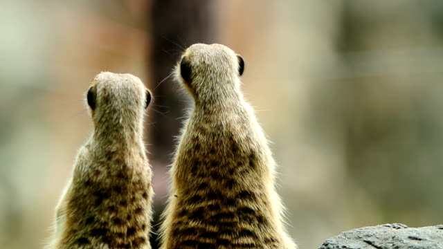 funny meerkat - two animals stock videos & royalty-free footage