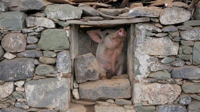 Grappig varken kijkt uit raam van een varkensstal op Santo Antão - Kaapverdische eilanden