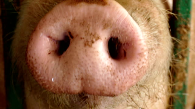 funny piglet - pig stock videos & royalty-free footage