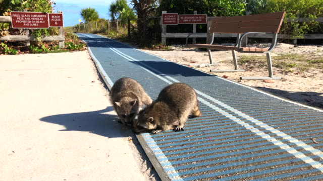 funny raccoons in the key biscayne state park eating food. - florida us state stock videos & royalty-free footage