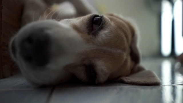 Funny sleeping beagle dog at night