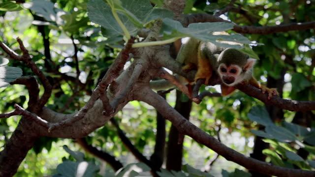 funny squirrel monkey on tree branches - amazon rainforest stock videos and b-roll footage