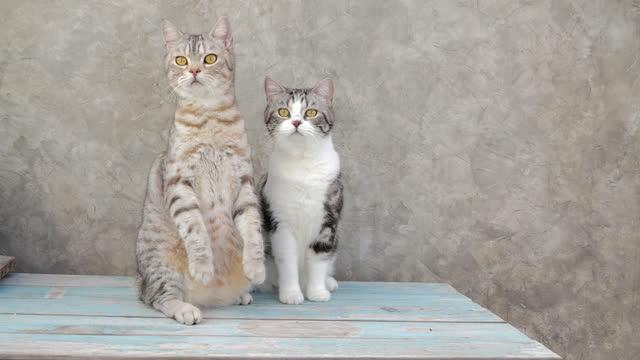 vidéos et rushes de deux chats drôles de gingembre s'asseyent et se tiennent sur la table en bois avec la décoration de récipient d'arbre à la maison - surprise