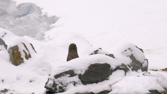 fur seal appears behind a rock - sea lion stock videos & royalty-free footage