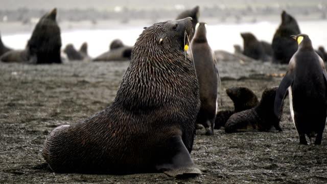 vídeos y material grabado en eventos de stock de lobo marino en la bahía de balleneros en la antártida - foca peluda