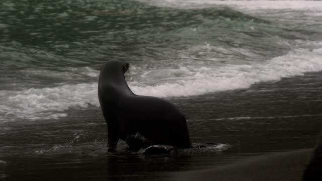 vidéos et rushes de otarie à fourrure de la whaler bay en antarctique - oiseau qui ne vole pas