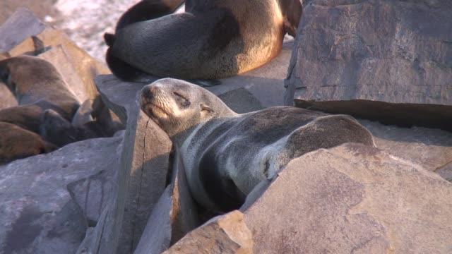 vídeos y material grabado en eventos de stock de a fur seal basks in the sun. available in hd. - foca peluda