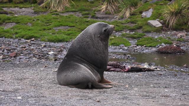 Fur seal, Fortuna Bay, South Georgia Island, Southern Ocean