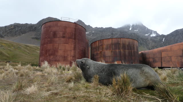 fur seal in tussock grass in front of abandoned whaling station, south georgia - whaling stock videos & royalty-free footage