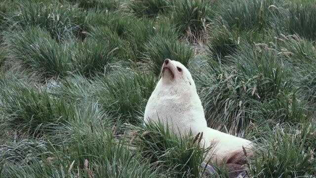 Fur seal, leucistic, Fortuna Bay, South Georgia Island, Southern Ocean