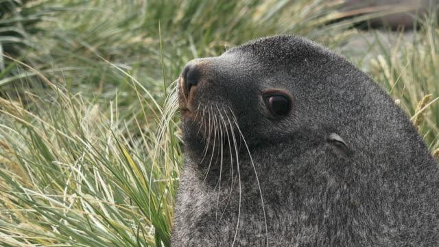 vídeos y material grabado en eventos de stock de fur seal male, closeup, ocean harbor, south georgia island, southern ocean - foca peluda