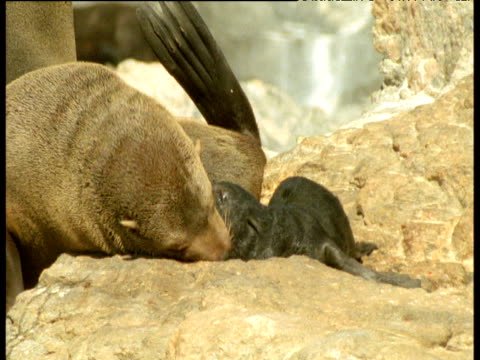 fur seal mother and pup rub heads on rock - seal pup stock videos and b-roll footage