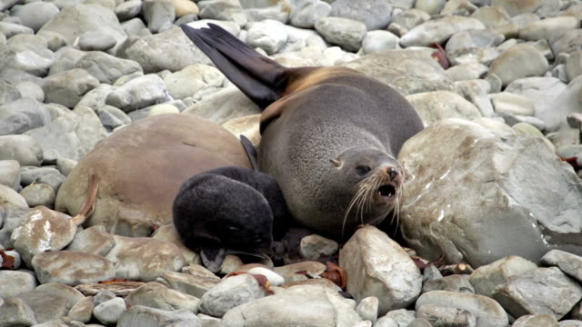 fur seal mum - seal pup stock videos & royalty-free footage