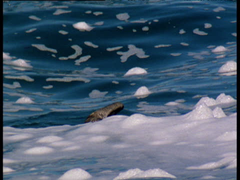 fur seal narrowly misses catching juvenile gannet - gannet stock videos & royalty-free footage
