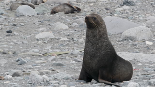 fur seal on beach - antarctic peninsula stock videos & royalty-free footage