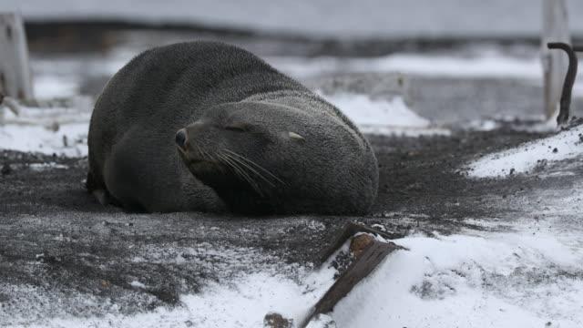 fur seal on snow - antarctic peninsula stock videos & royalty-free footage
