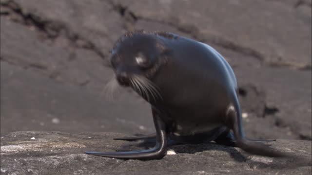 vidéos et rushes de fur seal pup follows mother, fernandina, galapagos islands available in hd. - otarie à fourrure