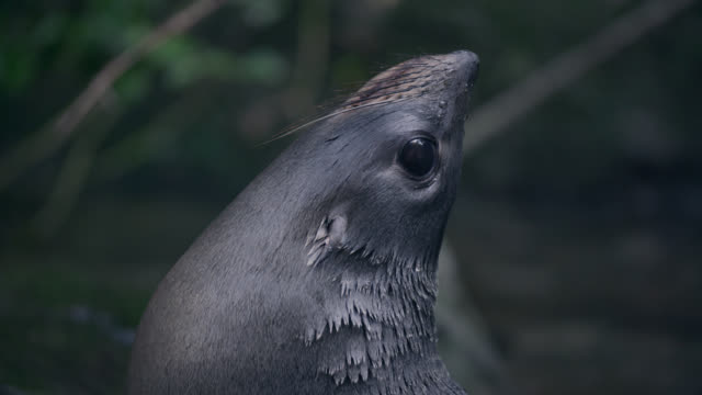 Fur seal (Arctocephalus forsteri) pup in forest stream, New Zealand
