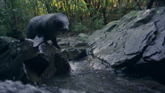 Fur seal (Arctocephalus forsteri) pup jumps into forest stream, New Zealand
