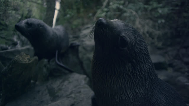 Fur seal (Arctocephalus forsteri) pup looks around in forest, New Zealand