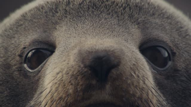 vídeos de stock, filmes e b-roll de fur seal pup looks around, new zealand - olho de animal