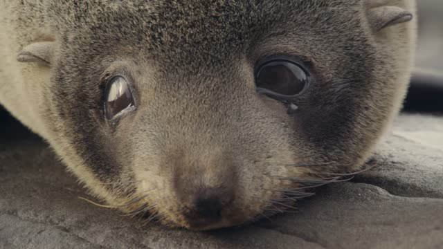 Fur seal pup looks around, New Zealand