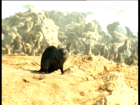 fur seal pup on its own above the rest of the colony - seal pup stock videos & royalty-free footage