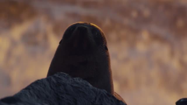 Fur seal (Arctocephalus forsteri) pup on rocky beach at sunset, New Zealand