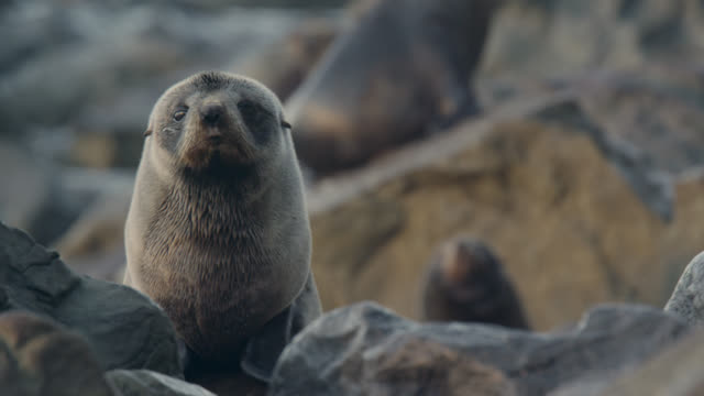 fur seal (arctocephalus forsteri) pup on rocky beach, new zealand - seal pup stock videos & royalty-free footage
