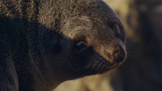 Fur seal (Arctocephalus forsteri) pup on rocky beach, New Zealand