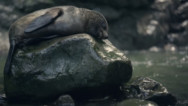 Fur seal pup rests by forest pool, New Zealand