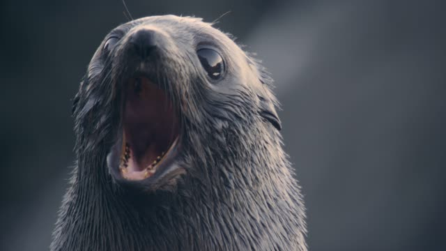 fur seal pup yawns on rocky beach, new zealand - seal animal stock videos & royalty-free footage